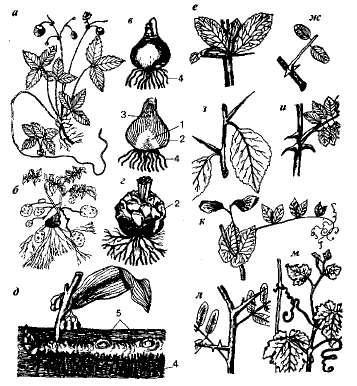 Видоизменения стебля и листа
